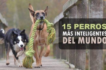 perros más inteligentes del mundo